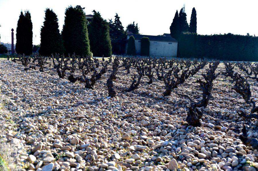この大きな丸石の土壌は、本当に初めて見た土壌でびっくりしました。 この丸石の上は、歩きにくいです。ぶどう栽培の手間は想像以上だと思います。
